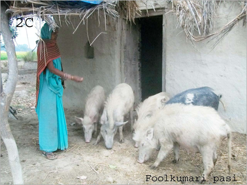 Graphic: Phoolkumari Pas tending to pigs